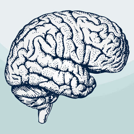 fissures: Human brain on light blue background