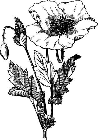 poppy flowers: Branch of Papaver rhoeas on white Illustration