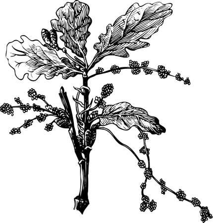 quercus robur: Branch of Quercus robur on white Illustration