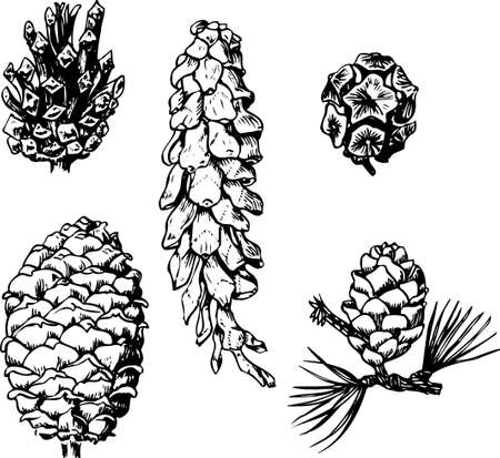 pine cones: Pine cones on white Illustration