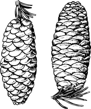fir cones: Pine cones on white Illustration