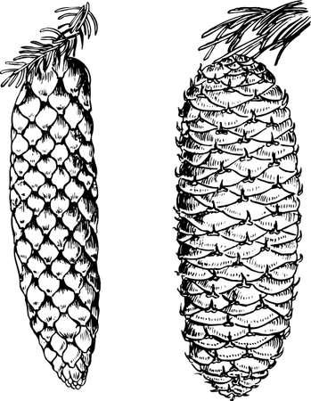 abetos: Conos de pino en blanco