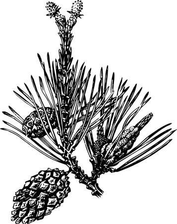fir cone: Conos de pino en blanco