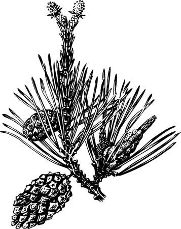 conifer: Pine cones on white Illustration