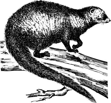 Otter on the trunk on white