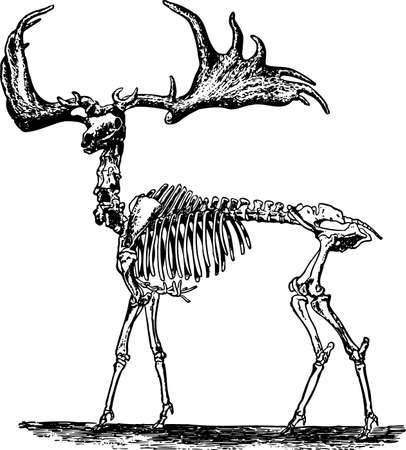 ribs: Animal skeleton