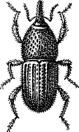 insecta: Beetle Illustration