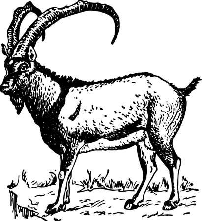Goat Stock Vector - 10380951