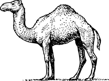 camels: Camel — ship of the desert