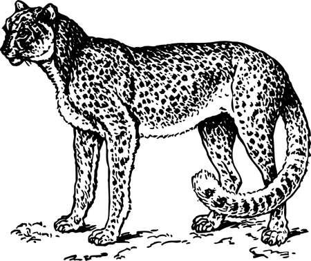 Leopard Stock Vector - 10373592