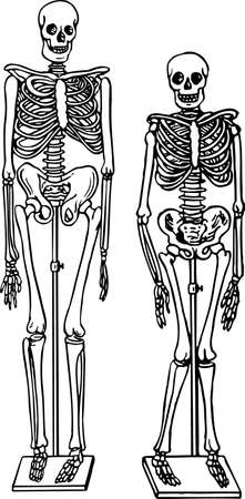 Human skeletons Stock Vector - 10373586