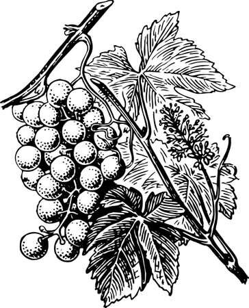 иллюстрировать: Виноград Иллюстрация