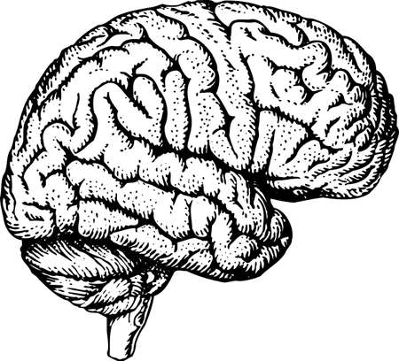 Human brain Stock Vector - 10398934