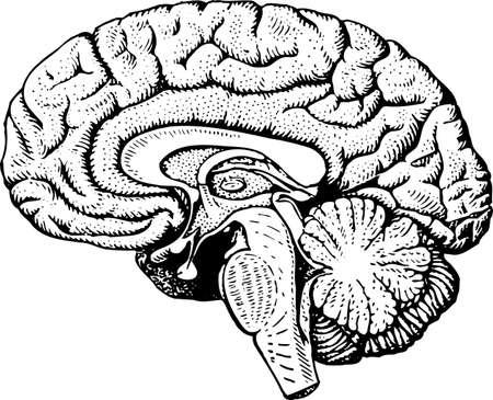 Human brain Stock Vector - 10398935