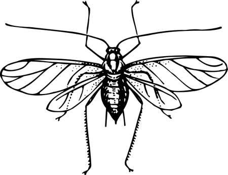 gnat: Mosquito