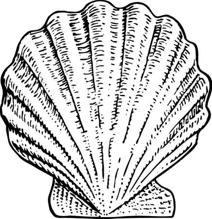 marine life: Seashell Illustration