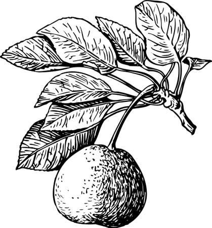 Pear Stock Vector - 10397990