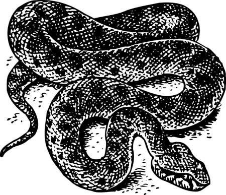 coiled: Snake