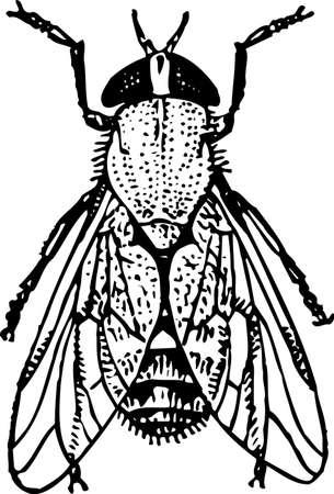 house fly: Fly