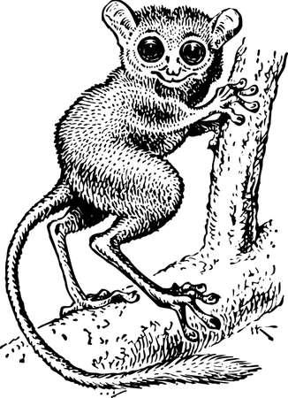 possum: Tarsius syrichta