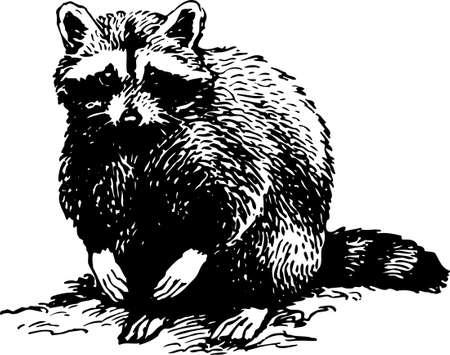 omnivore animal: Racoon