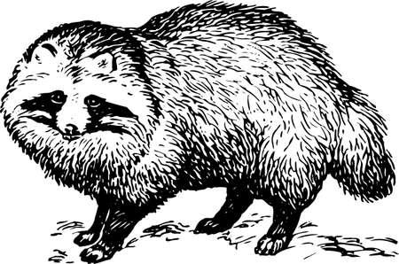 racoon: Szop