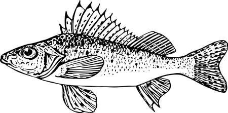 coral fish: Fish on white Illustration