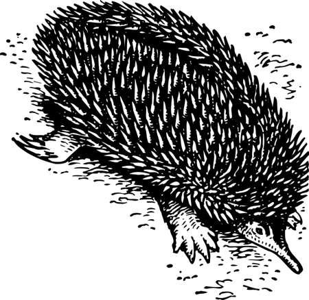 snouts: Hedgehog