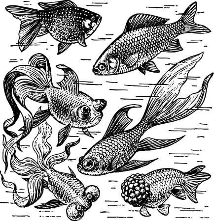 aquatic life: Goldfish