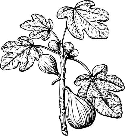 feuille de vigne: Fig sur blanc