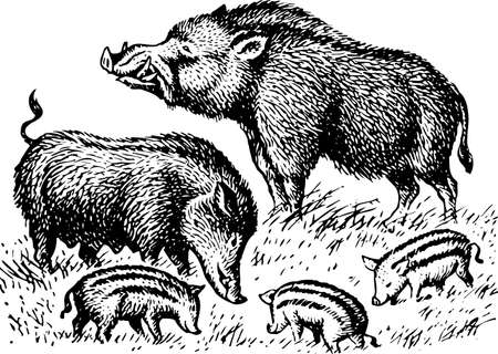 pig tails: Wild boar family