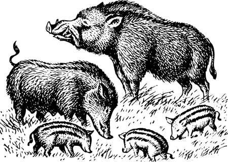 snuffelen: Wilde zwijnen familie Stock Illustratie