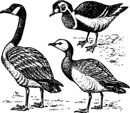 wild duck: Birds