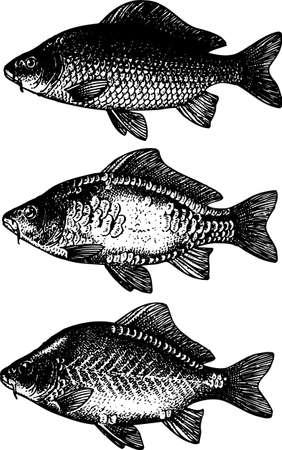pez carpa: Tres carpas Vectores