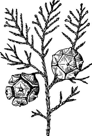 cone shell: Pine cones on white Illustration