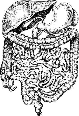bowel: Umano organi interni Vettoriali