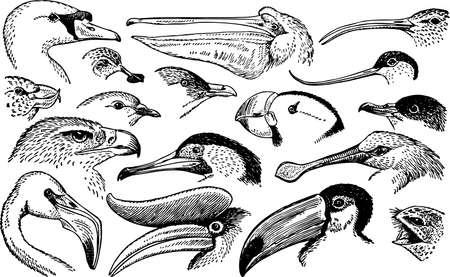 Bird heads Stock Vector - 10397581