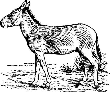 mule: Donkey Illustration
