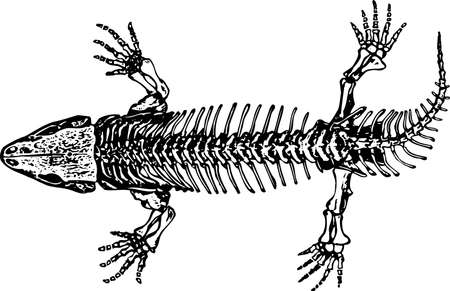 Skeleton of seymouria Stock Vector - 10402226