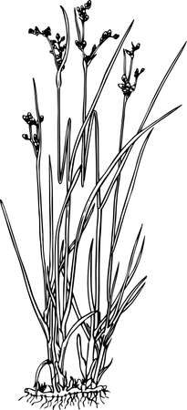 sedge: Juncus