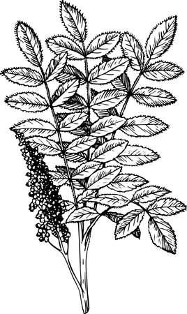 staghorn: Rhus (Staghorn Sumac)