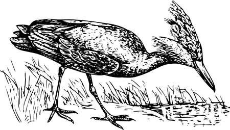 captivity: Scopus umbretta (Hamerkop)