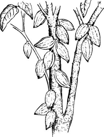 cacao: Theobroma (Cocoa pods) Illustration