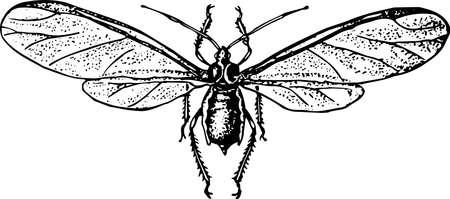 Aphidinea Vector