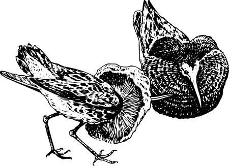 wader:  Ruff (Philomachus pugnax)