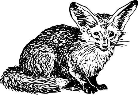 black fox: Otocyon megalotis