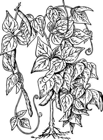 legume: Bean (Phaseolus)