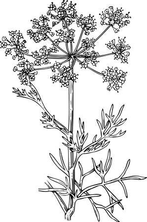 foeniculum vulgare: Foeniculum (Flowering fennel)