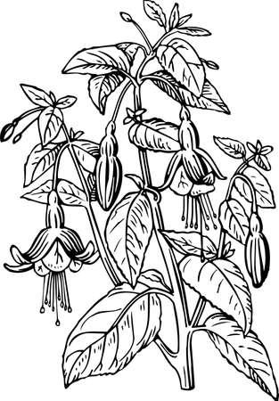 flores fucsia: Fucsia