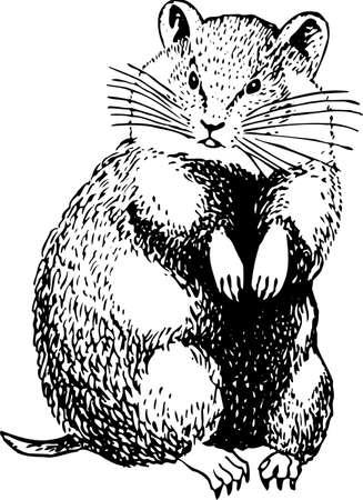 Cricetinae (hamster) Stock Vector - 10402233